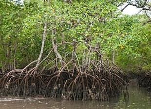 Você sabe a importância que os manguezais têm?