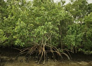 """Artigo: """"Os manguezais e marismas Baía Babitonga: uma síntese"""""""