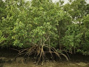 Você sabia que 80% dos manguezais de Santa Catarina estão na Baía Babitonga?