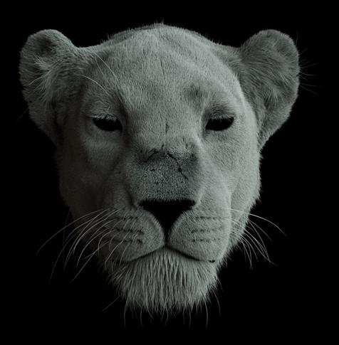 Lioness_front_02.jpg