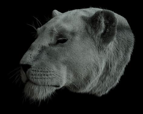 Lioness_angle_02.jpg