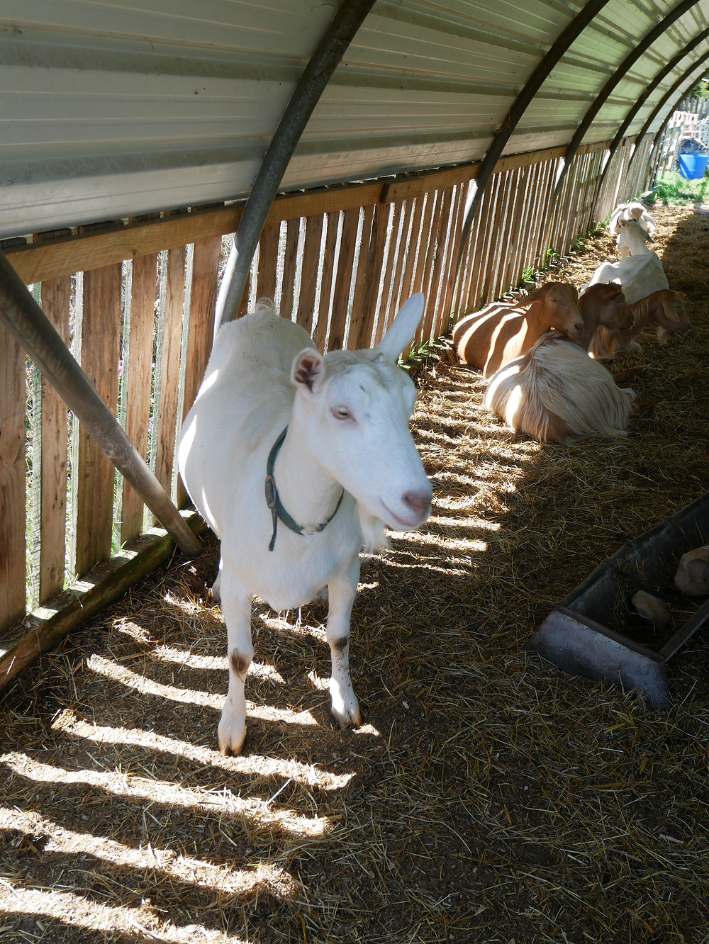Isle of Wight Dairy Goats