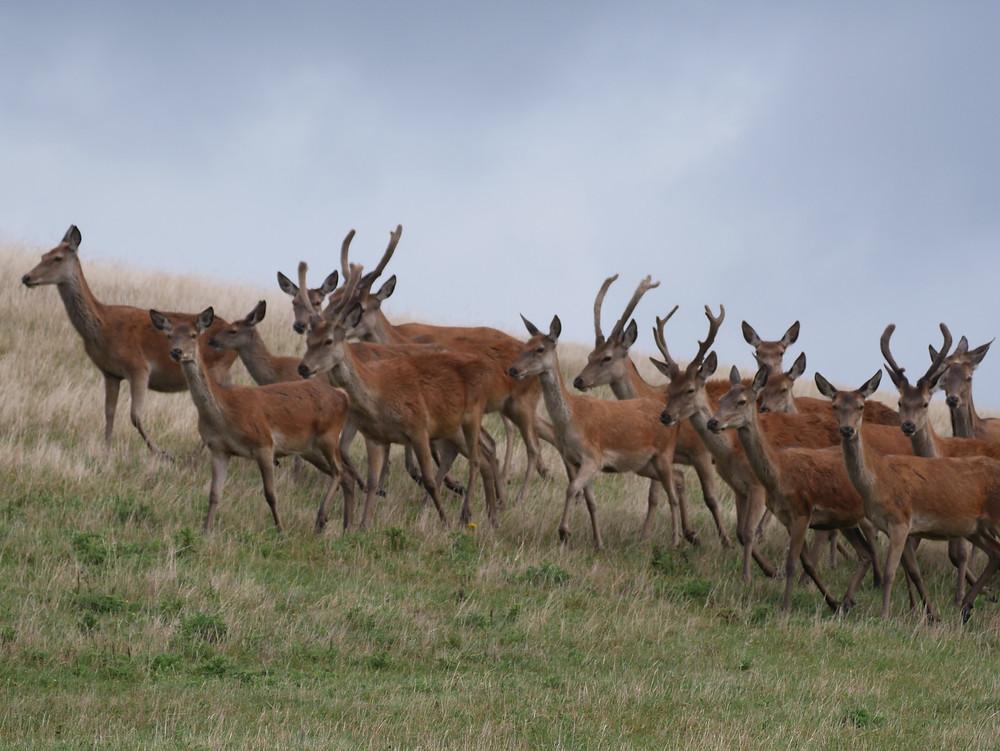 Isle of Wight Deer