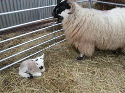 Scot Ewe & Lamb