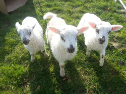 Three Pet Lambs