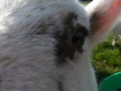 Nosey Pet Lamb