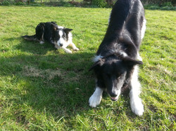 Collie Dogs - Tilly & Tip