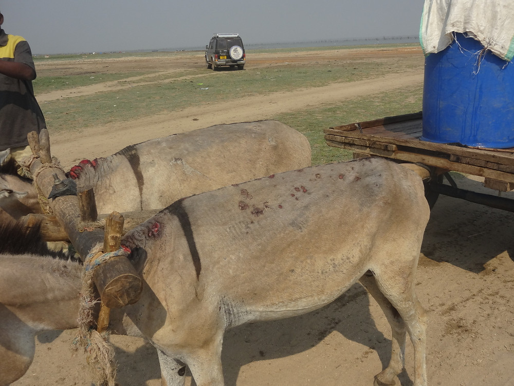 Sores on a pair of working donkeys - due to the yoke, heavy cart, single shaft system, and over-work