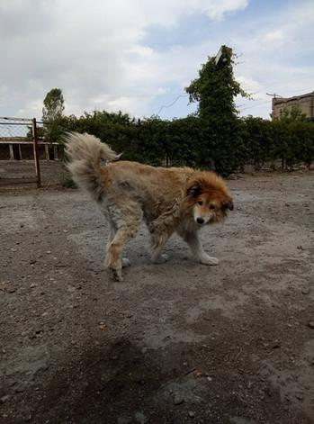 Hatiko, an old dog at SAA