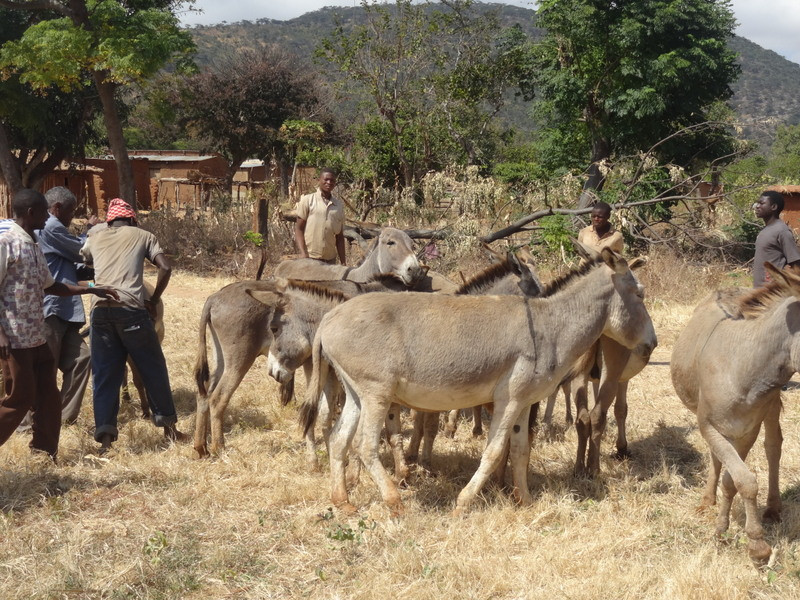 The donkey outreach clinic-village 2