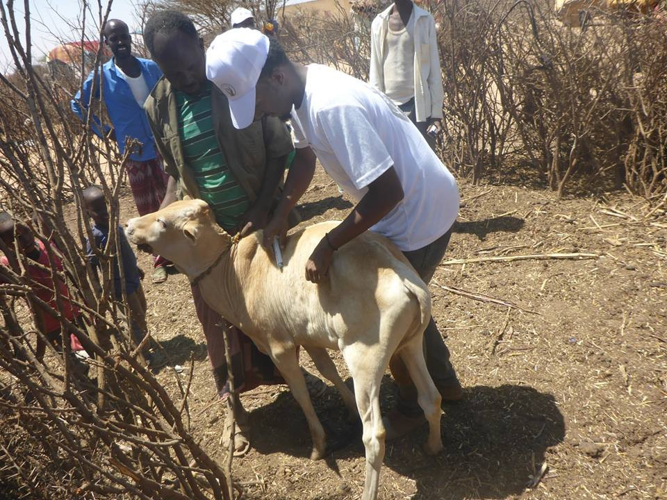 A SAWS vet vaccinates 1 of the 21 calves treated at the mobile clinicsc