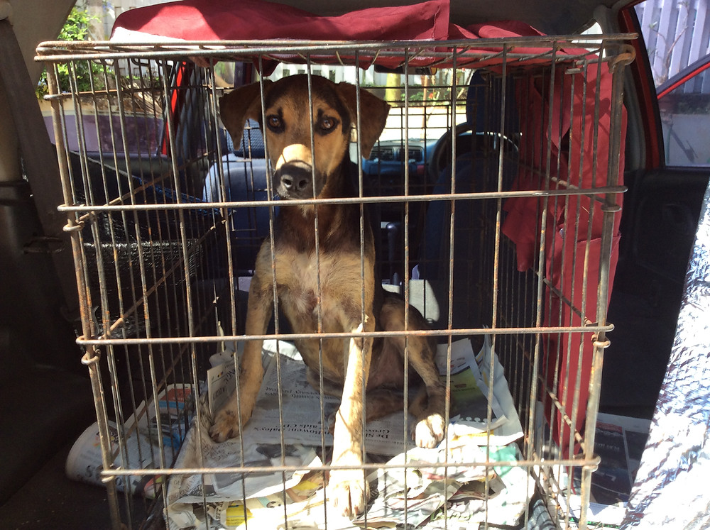 Hercules, a street dog-finally trapped!