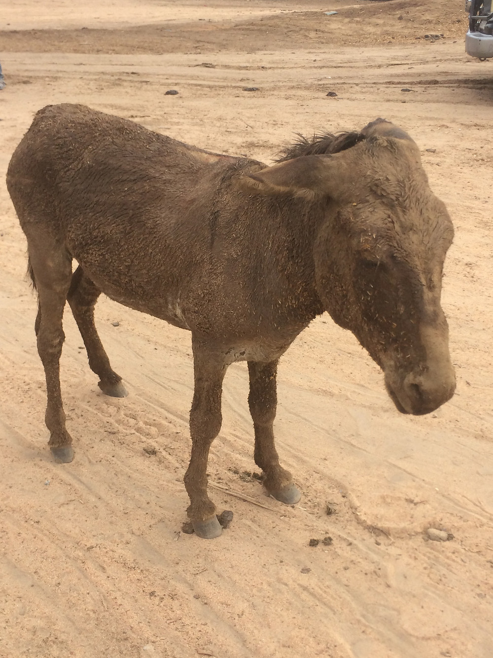 Donkey arrives at the holding facility prior to slaughter