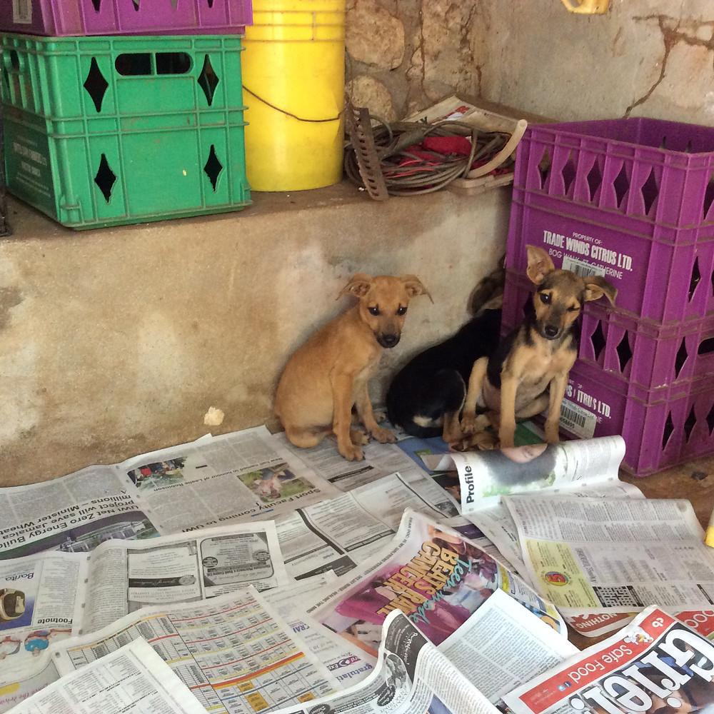 Abandoned wild dogs now safe at Deborah's kennel