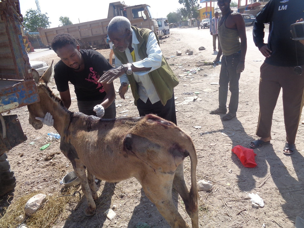 Donkey is again examined by a vet