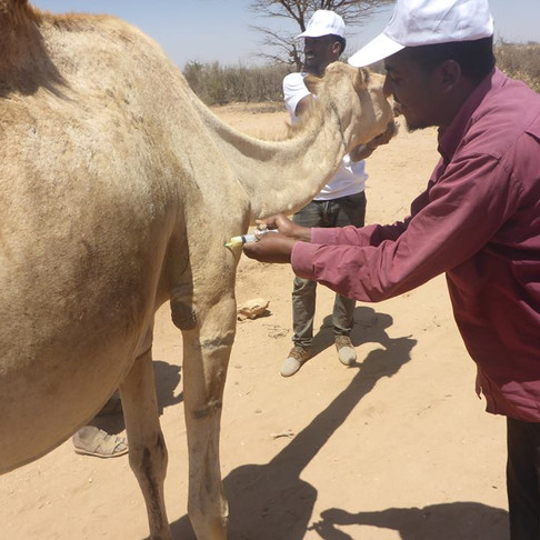 SAWS-Somaliland's Mobile Vet Clinic reaches donkeys, camels, cows, and calves