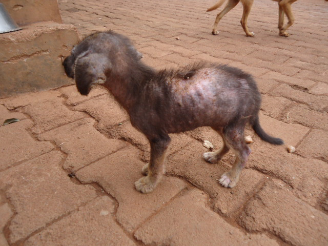 Lelik rescued-1 of many mange cases in early 2014