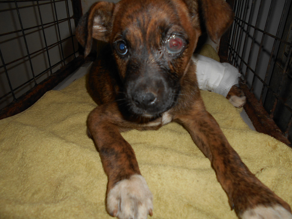 Brindle pup needed surgery on her eye and leg