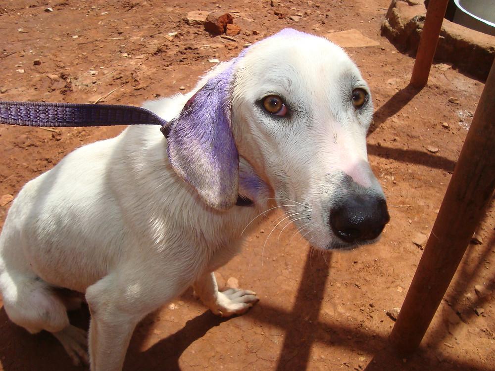 Purple ears-helps them heal