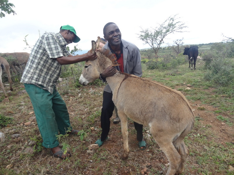 Donkey being treated during a clinic