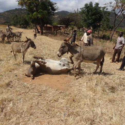 Donkey Outreach Clinic treats 438 donkeys & 3 dogs!