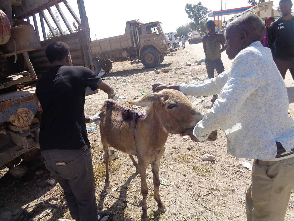 Donkey is re-examined 3 days after rescue