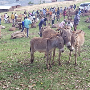 Bam Animal Clinics-caring for donkeys through locust outbreaks & covid-19