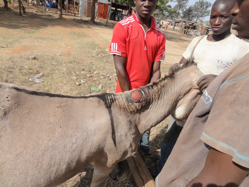 Donkey Welfare Clinic: providing vet care and training on proper care of working donkeys