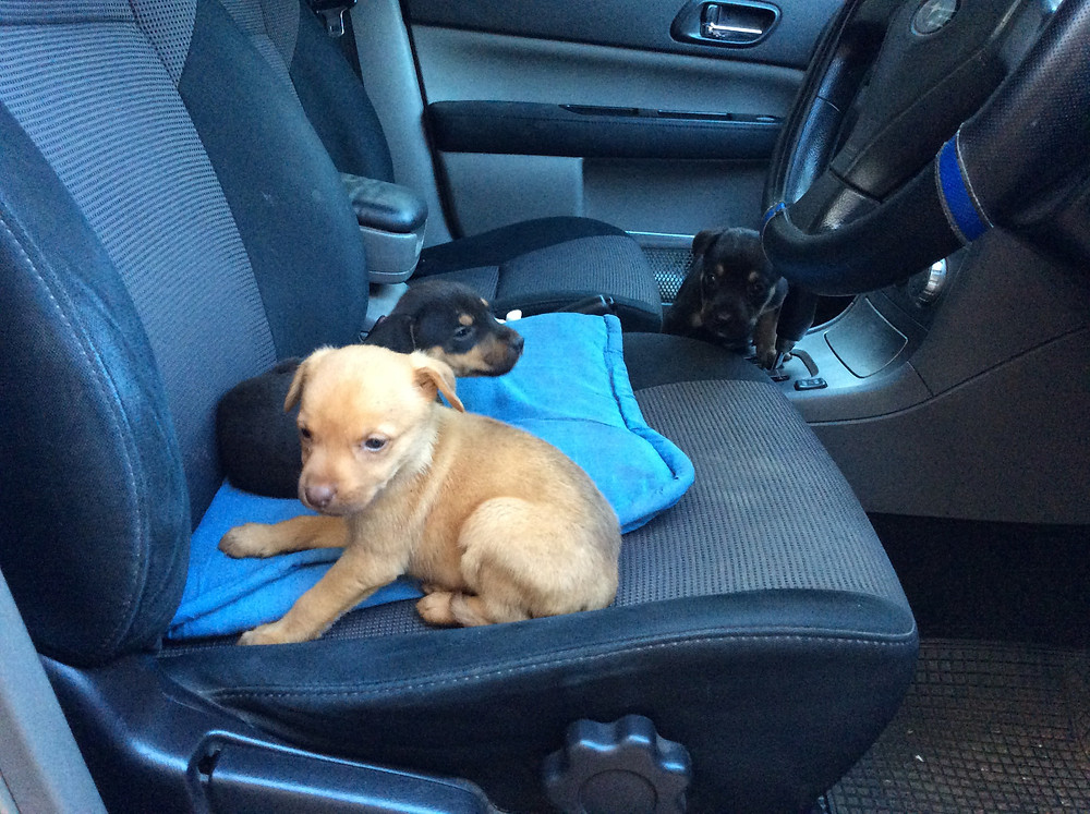 3 puppies rescued from the middle of the road-all re-homed