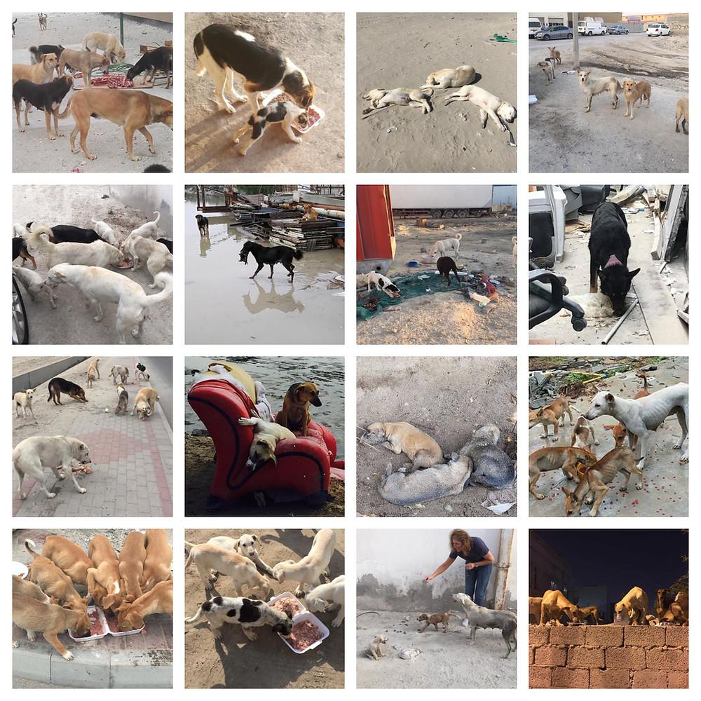 Bahrain's stray dogs