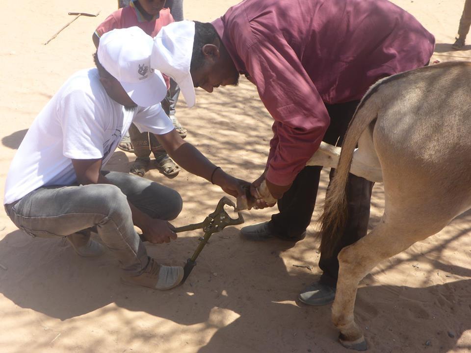 Filing a donkey's hoof