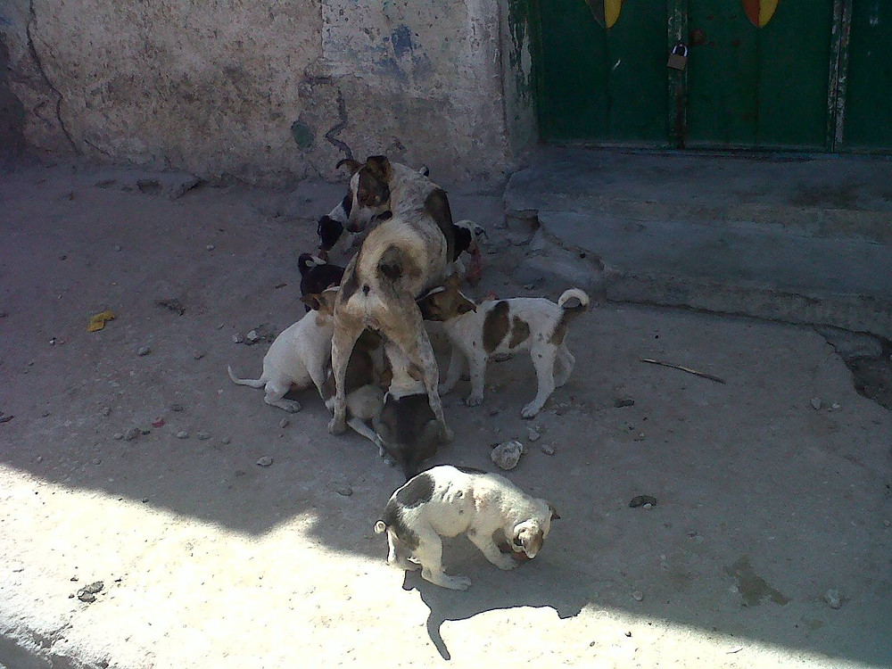 Spay surgery is almost unknown in Somaliland