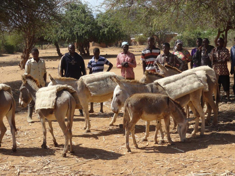 Donkeys using the humane harnesses