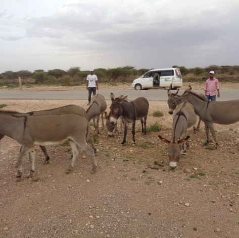 SAWS at work helping donkeys