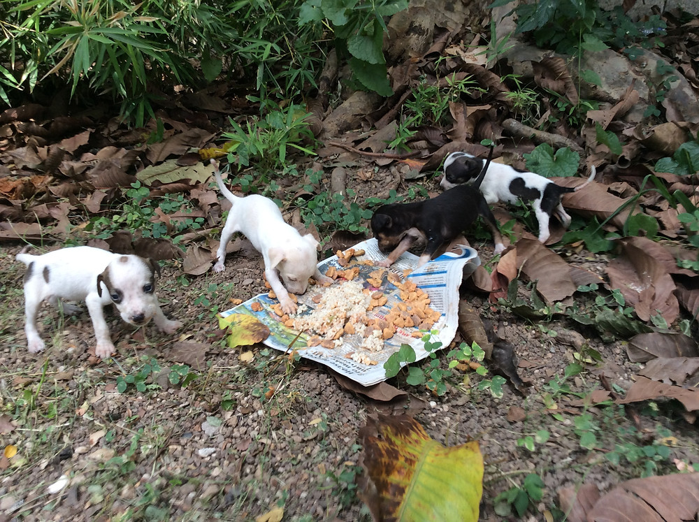 4 puppies born in the bush-soon to go to 4ever homes