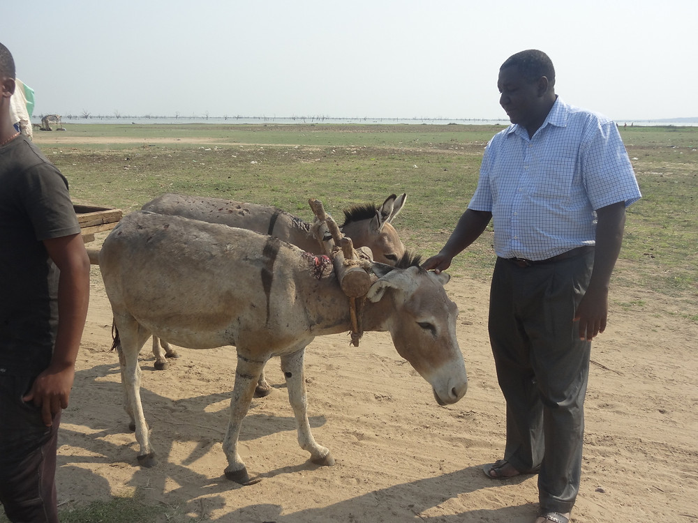 Dr. Thomas checks a working donkey to see if he has sores