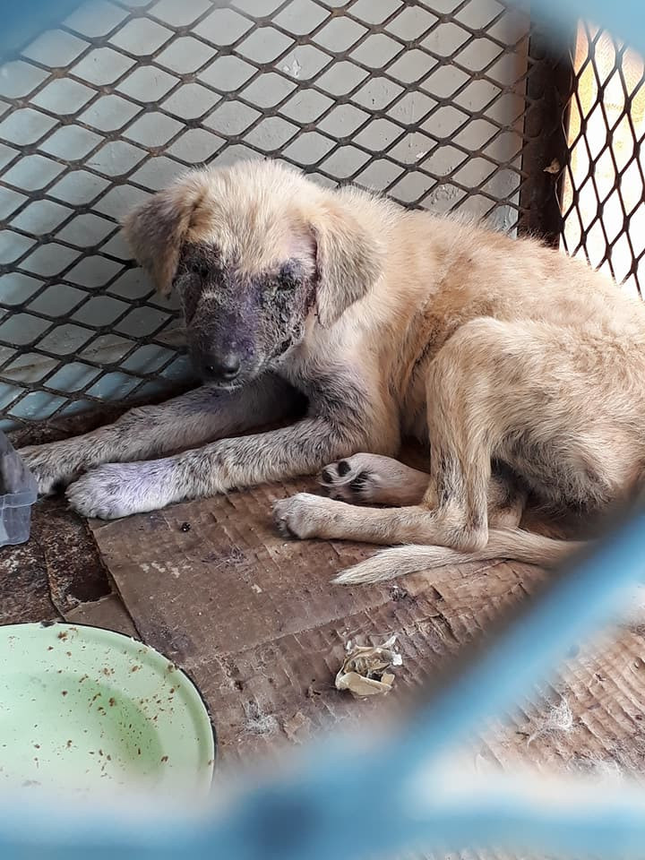 Rescued puppy is being treated for mange and in foster care