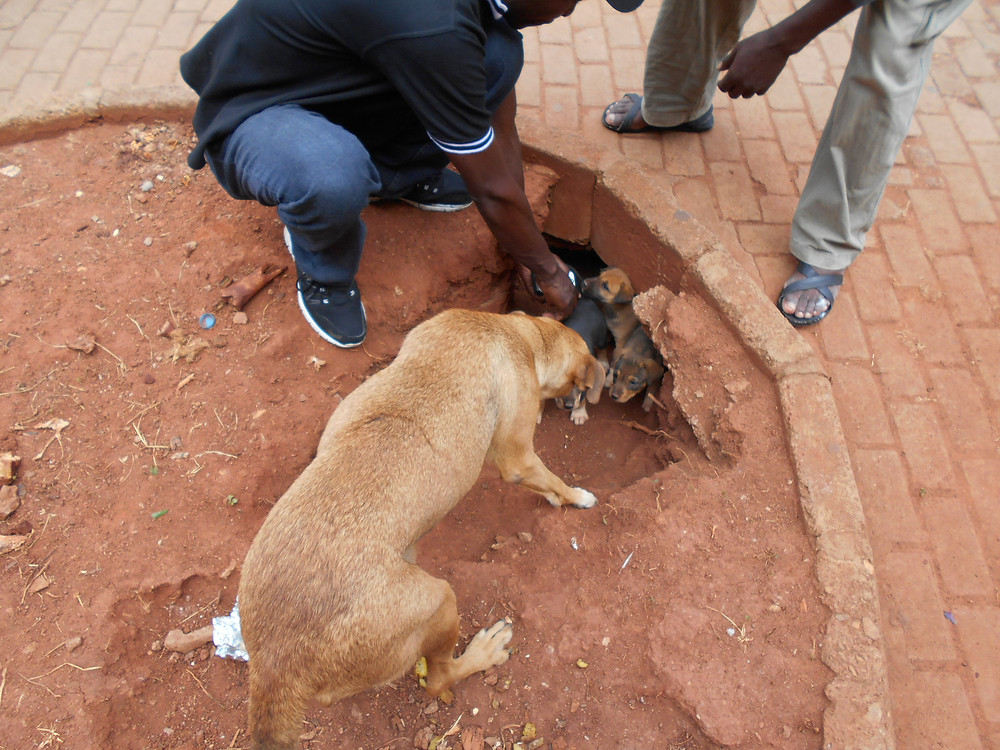 Mama and puppies rescuued from downtown Kampala