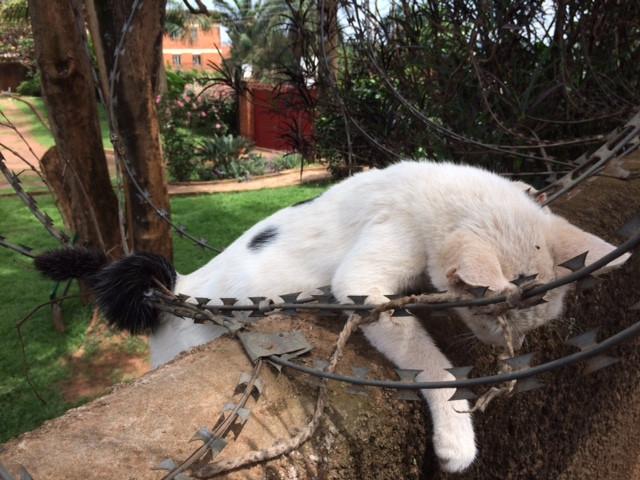 Poor kitty stuck in razor wire