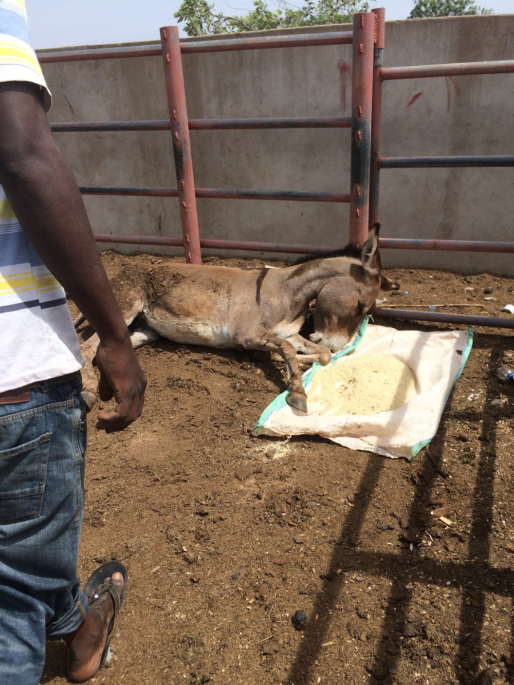 Donkey at holding facility -suffering from hunger and thirst after long hours in a truck