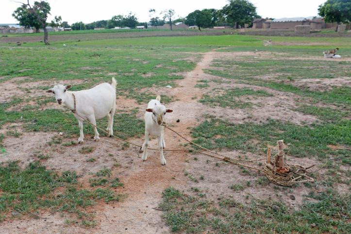 Tethered goats