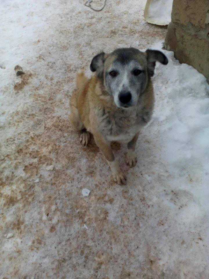 One of the older dogs at the SAA shelter