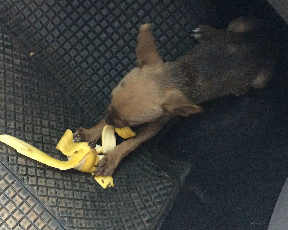 Tinkerbell was so hungry she tried to eat a banana skin