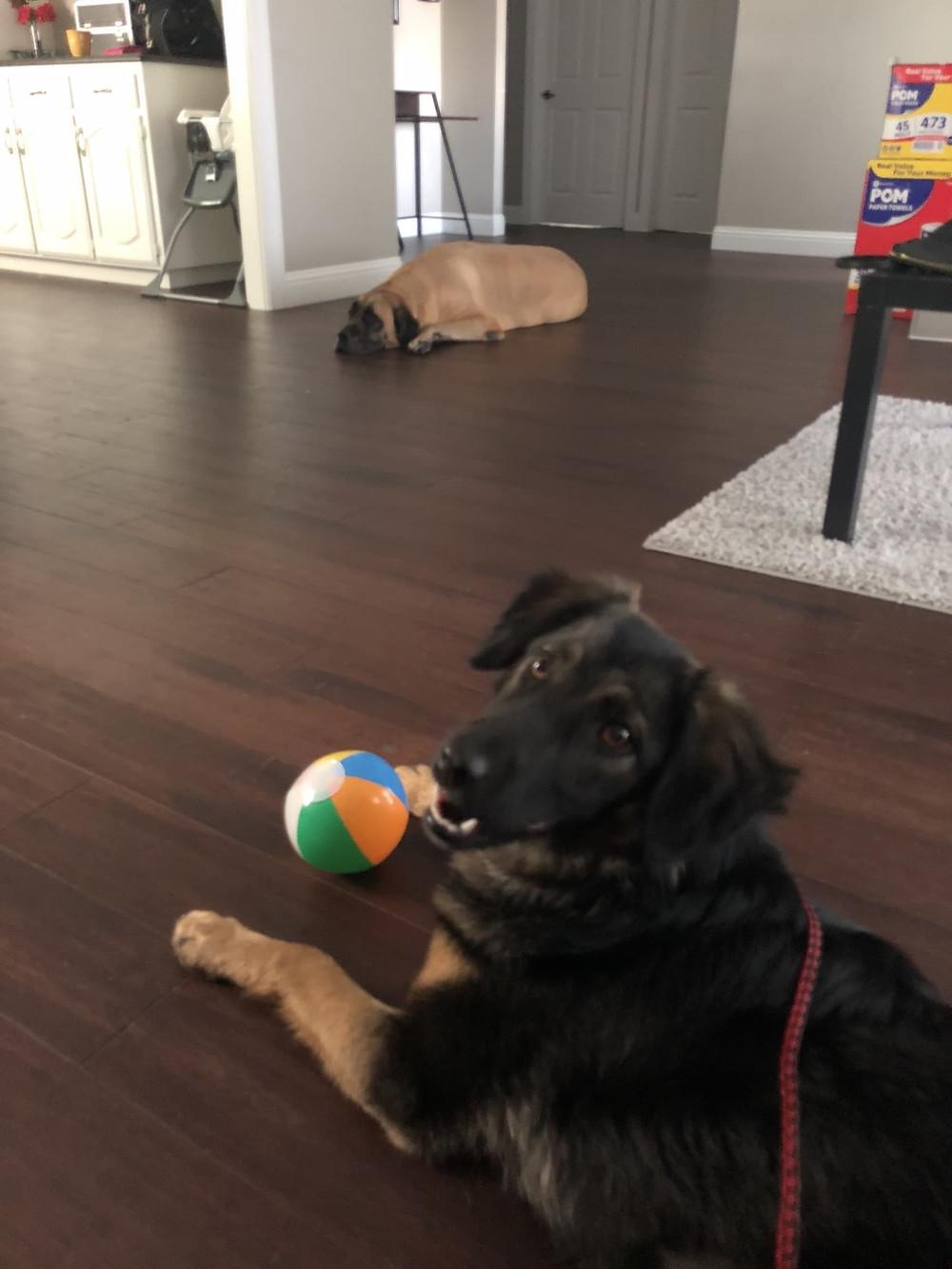"Armenian ""guard"" dog now a family dog in Dallas!"