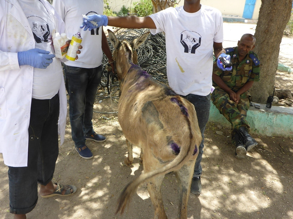 Thanks to SAWS, the donkey is treated by a vet