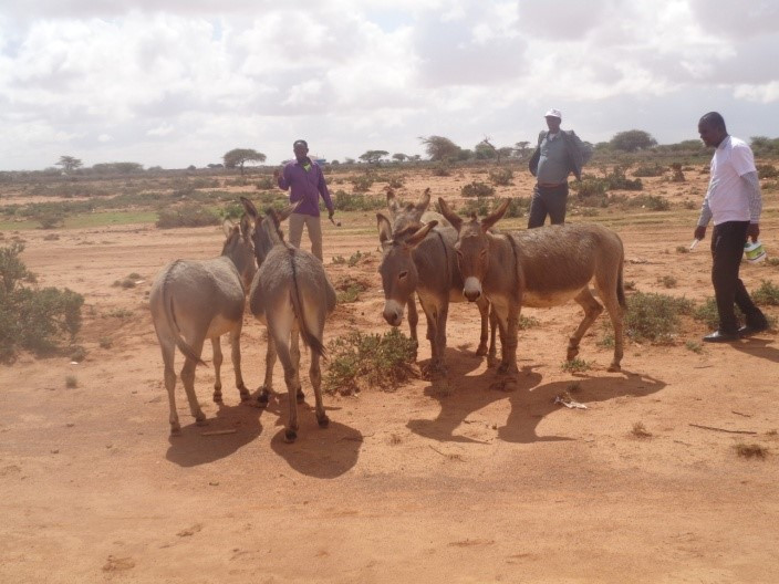 On their way to the villages, SAWS ran into these donkeys, most of them female, most of them pregnant