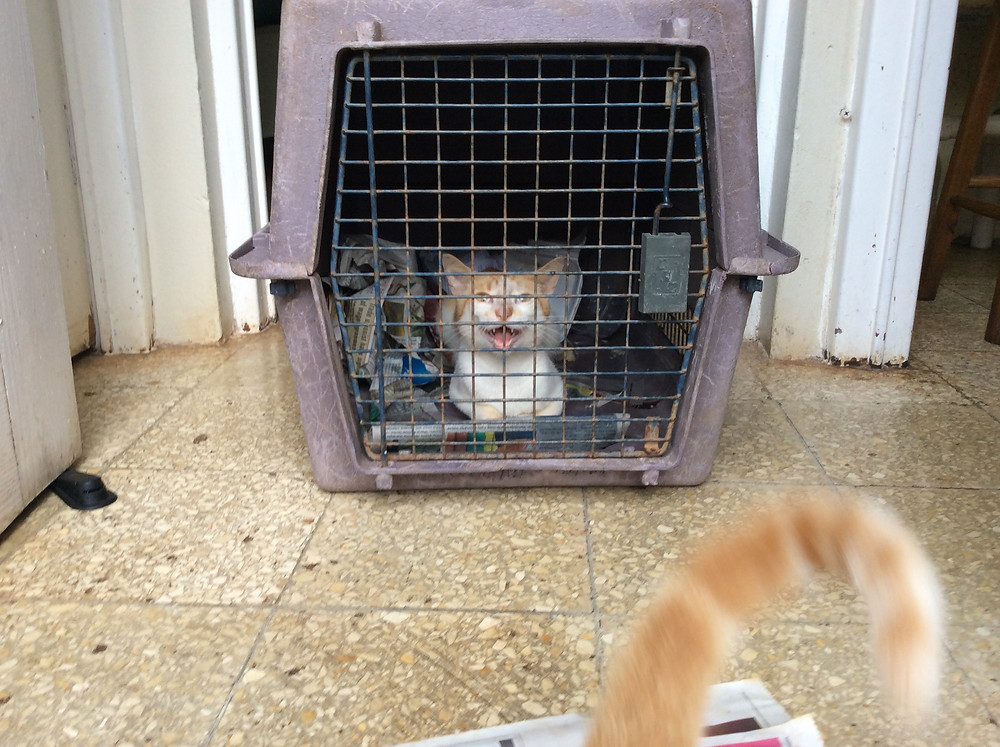 Ginger, not happy to be stuck in a crate