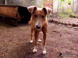 June Toffee is 1 of 3 street dogs sterilized at the clinic-want to find homes for them