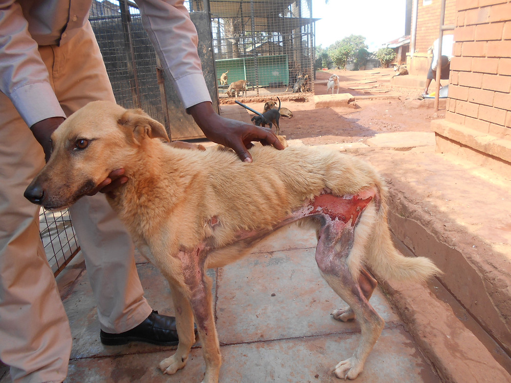 Dog rescued with a burn wound-treated and fine now