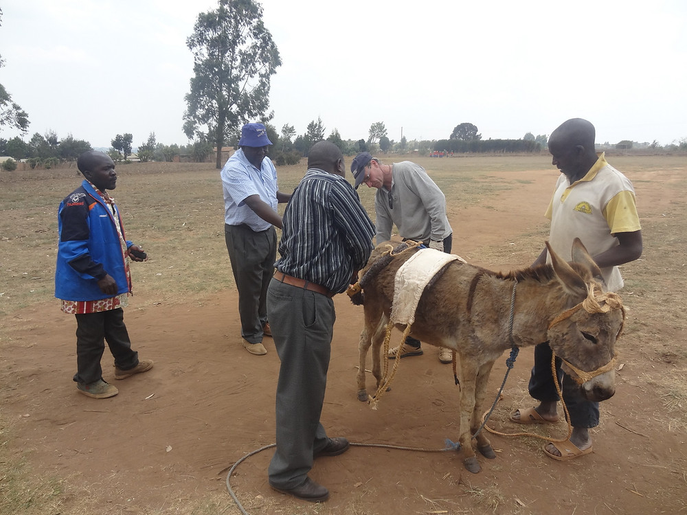 The TAWESO team checks a working donkey and demonstrates a humane harness